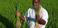 Indischer Bauer stellt neuen Reisrekord auf