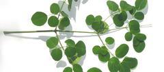 Moringa — die vitaminreichste Pflanze der Erde